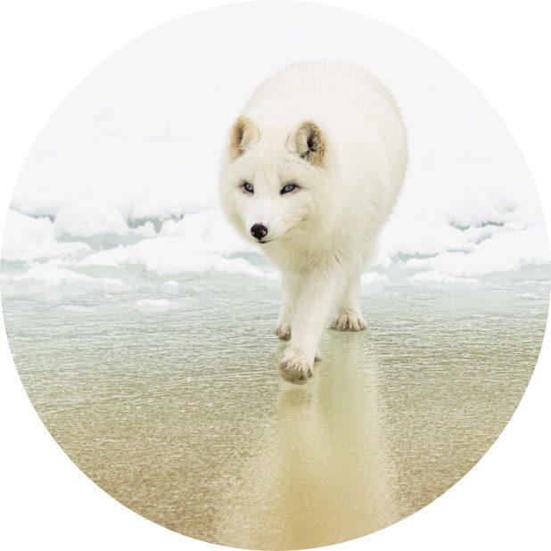 circle-fox
